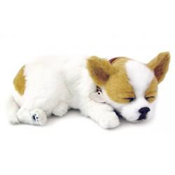 Chihuahua White & Tan